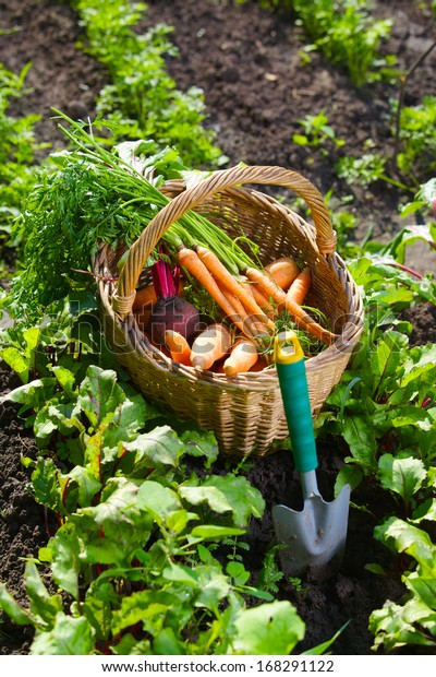 Basket with fresh carrot in the garden