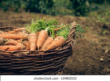 Basket of fresh carrots on the ground. Closeup.