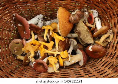Basket with freshly harvested forest mushrooms. Boletus, chanterelles, russula, scaber stalk, birch bolete. Late summer and autumn nature. Travels in the woods, mushroom picking.