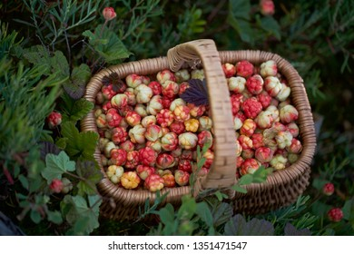 A basket of freshly picked cloudberry fruits. Location: Western Siberia..