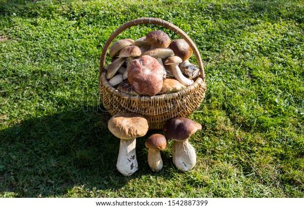 Basket full of Boletus mushrooms