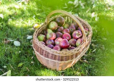 A basket full of fresh apples in the garden