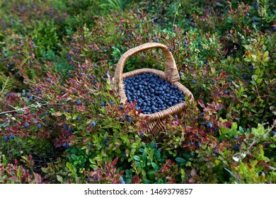 A basket full of fresh bilberries (Vaccinium myrtillus). Season: Summer. Location: Western Siberian taiga.