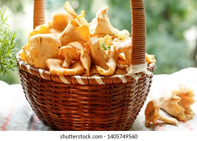 the basket is full of fresh chanterelles fresh from the forest. Close-up.