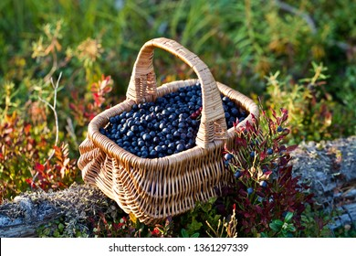 A basket full of freshly picked bilberries. Season: Summer 2018. Location: Western Siberian taiga.