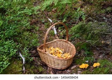 Basket full of freshly picked golden chanterelle mushrooms next to wild chanterelles in the forest. Photo taken in Sweden