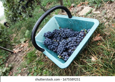 A basket of grapes during the harvest in the Champagne region in France