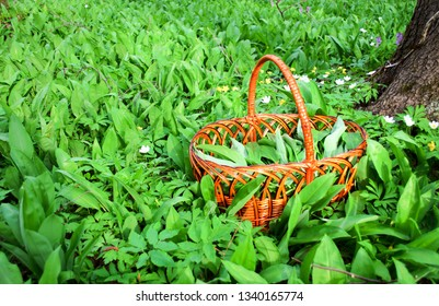 Basket for harvesting wild garlic, wild onions, bear onions in a forest on a clearing with a copy of the space. Wild garlic harvesting basket on ramson field. Harvesting wild garlic in the forest.