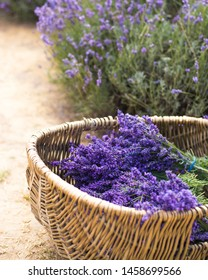 Basket with a lavender in lavender fields. Close up nature photo Idea of a rich harvest