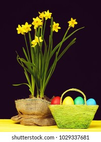 Basket made of green threads and filled with colourful easter eggs next to pot of narcissi flowers wrapped with sackcloth on wooden table, isolated on black background. Easter still life composition