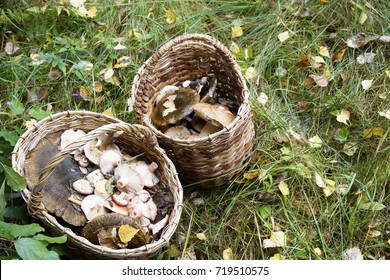 Basket with mushrooms. Autumn forest. Gathering mushrooms. Forest photo, forest mushroom. Mushroomer gathering mushrooms.Mushroom hunting