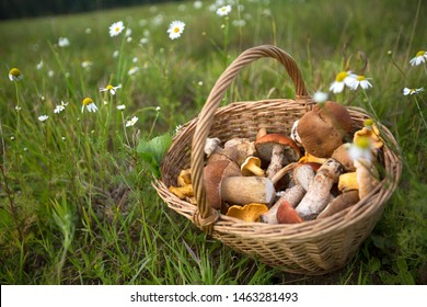 Basket of mushrooms on the grass in the summer field