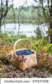 Basket is on the ground, in the nordic forrest and full of healthy bilberries.