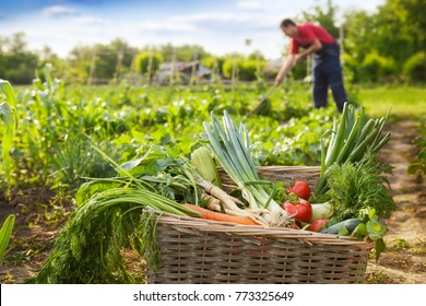 Basket with organic vegetable and gardener working in background