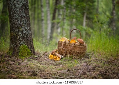 The Basket of porcini