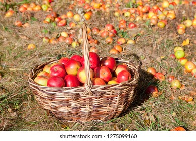 Basket of Red Apples in the Basket in Autumn.