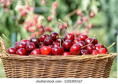 basket with ripe sweet cherries