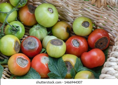 A basket showing tomatoes blossom end rot