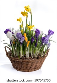 Basket with spring flowers isolated on white background. Wicker basket with crocuses and daffodils.