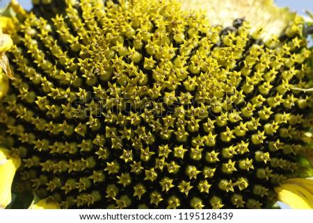 Basket Sunflower Yellow Tubular Flowers Stock Photo Edit Now