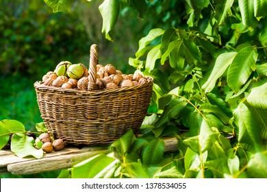basket of walnuts in the garden near the tree