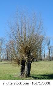 basket Willow (Salix viminalis) in Rhineland,Germany