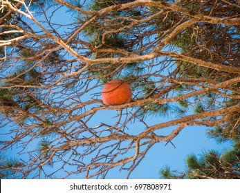 Basketball ball stuck on the top of the branch of tree in the park.