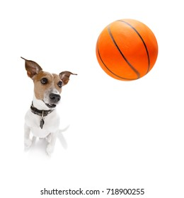 basketball  jack russell dog playing with  ball  , isolated on white background, wide angle fisheye view