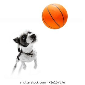 basketball  poodle dog playing with  ball  , isolated on white background, wide angle fisheye view