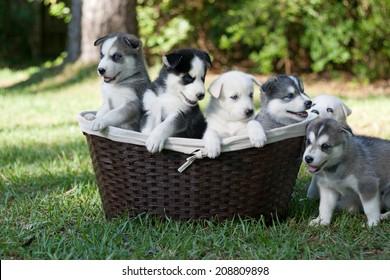 Basketful of Wolf Hybrid Puppies