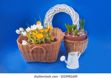 Baskets with crocuses and hyacinth on a blue background