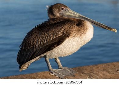 Basking Pelican