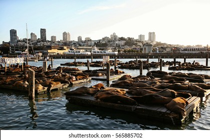 Basking Sea Lions at Pier 39 San Francisco California