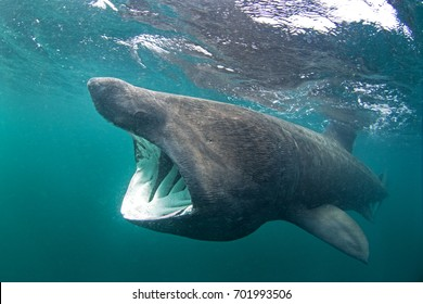 requin pèlerin, cetorhinus maximus, île Coll, Écosse