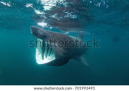 basking shark cetorhinus maximus coll island の写真素材 今すぐ編集