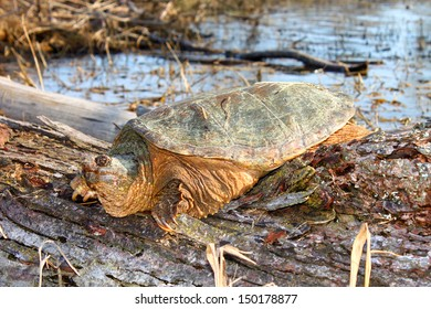 Basking Snapping Turtle (Chelydra serpentina) on a warm spring day near Rockford, Illinois