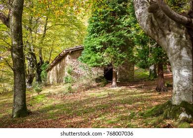 A basque beech in autumn