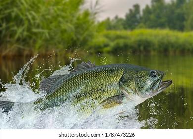 Bass fishing. Largemouth perch fish jumping with splashing in water