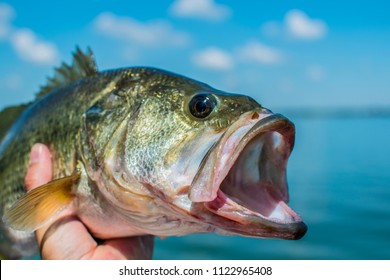 Bass Largemouth