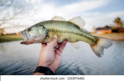bass largemouth Fish - Bass Fishing Large