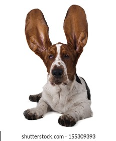 Basset ears up on a white background