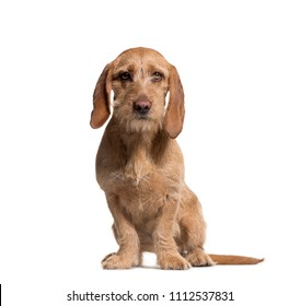 Basset Fauve de Bretagne sitting, isolated on white
