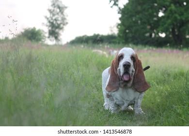 basset haun dog in nature