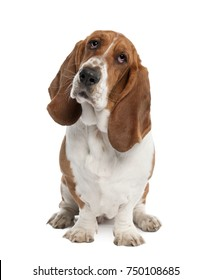 Basset Hound (1 year old) - hush puppy in front of a white background
