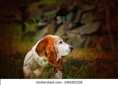 Basset Hound Adorable Older Dog