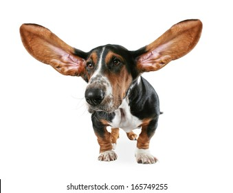 a basset hound with big ears