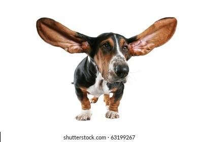 a basset hound with big ears