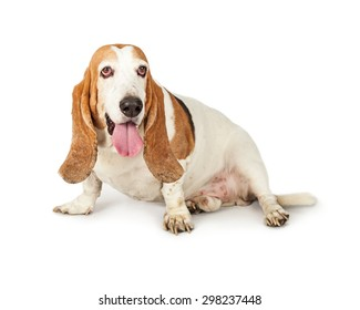 Basset Hound breed dog sitting to the side on a white background