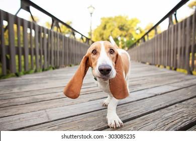 Basset Hound Close Up Walking Across Bridge with Big Ears