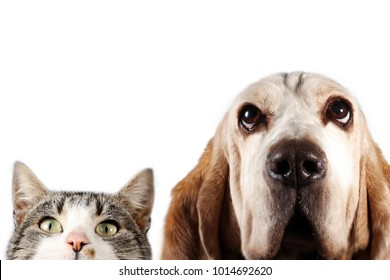 Basset hound dog and cat watching